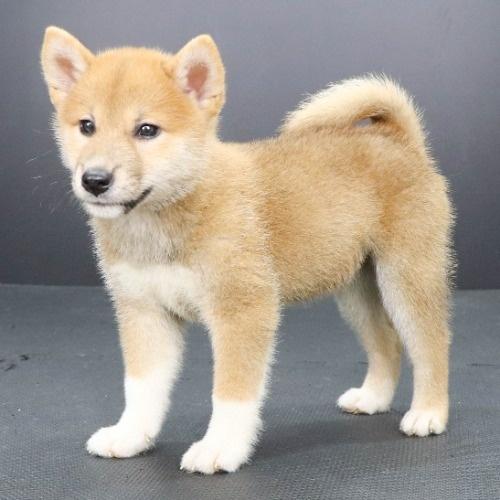 柴犬の子犬(ID:1262512194)の3枚目の写真/更新日:2021-08-16