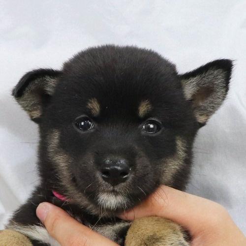 柴犬の子犬(ID:1262512198)の1枚目の写真/更新日:2021-08-27