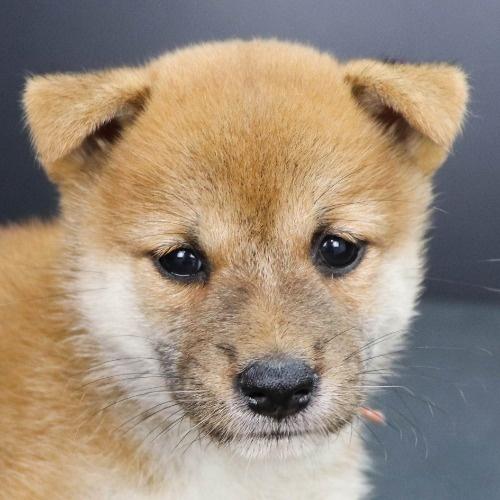柴犬の子犬(ID:1262512200)の1枚目の写真/更新日:2021-09-06