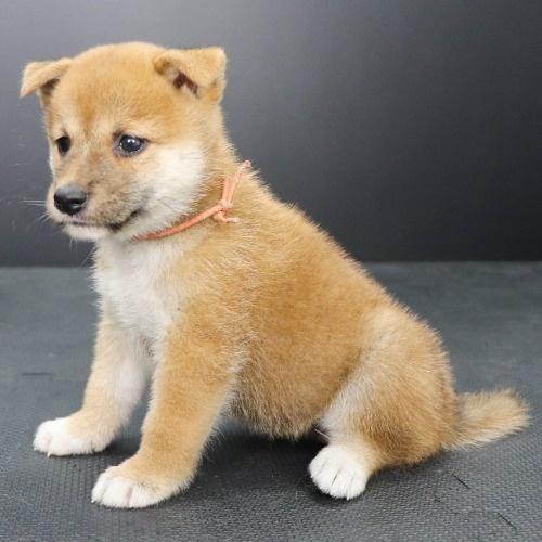 柴犬の子犬(ID:1262512200)の3枚目の写真/更新日:2021-09-06
