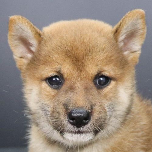 柴犬の子犬(ID:1262512201)の1枚目の写真/更新日:2021-09-06