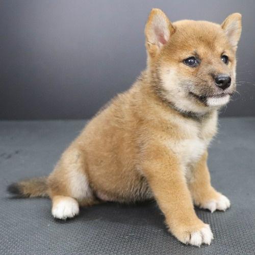 柴犬の子犬(ID:1262512201)の2枚目の写真/更新日:2021-09-06