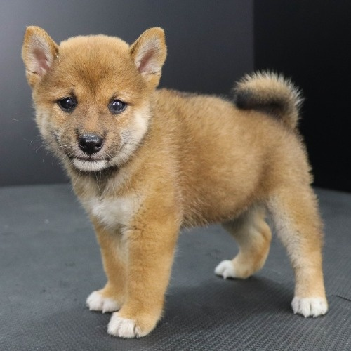 柴犬の子犬(ID:1262512201)の3枚目の写真/更新日:2021-09-06