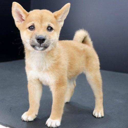 柴犬の子犬(ID:1262512202)の3枚目の写真/更新日:2021-10-03