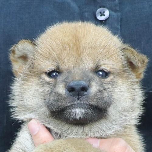 柴犬の子犬(ID:1262512203)の1枚目の写真/更新日:2021-08-19