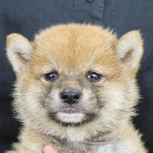 柴犬の子犬(ID:1262512204)の1枚目の写真/更新日:2021-08-27