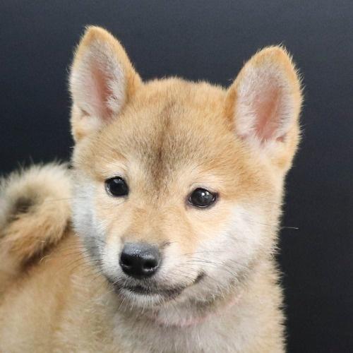 柴犬の子犬(ID:1262512205)の1枚目の写真/更新日:2021-08-23