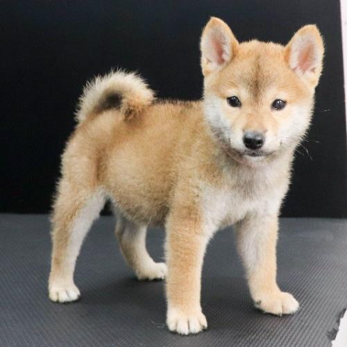 柴犬の子犬(ID:1262512205)の2枚目の写真/更新日:2021-08-23