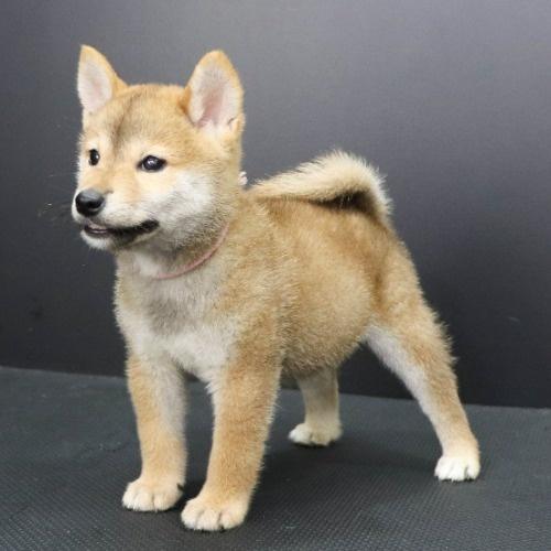 柴犬の子犬(ID:1262512205)の3枚目の写真/更新日:2021-08-23