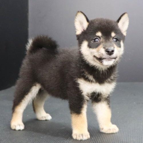 柴犬の子犬(ID:1262512206)の2枚目の写真/更新日:2021-08-15