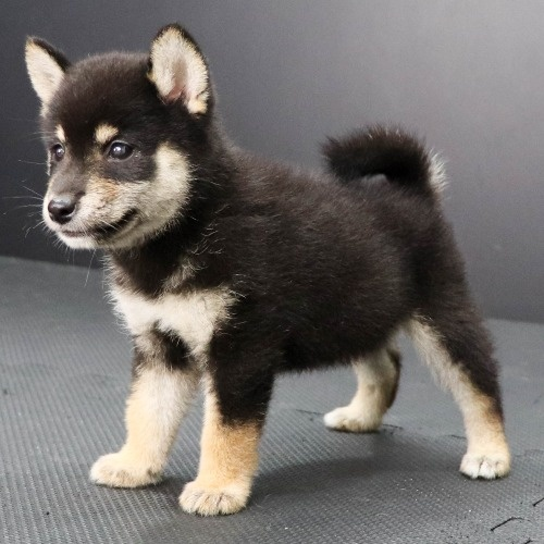 柴犬の子犬(ID:1262512206)の3枚目の写真/更新日:2021-08-15