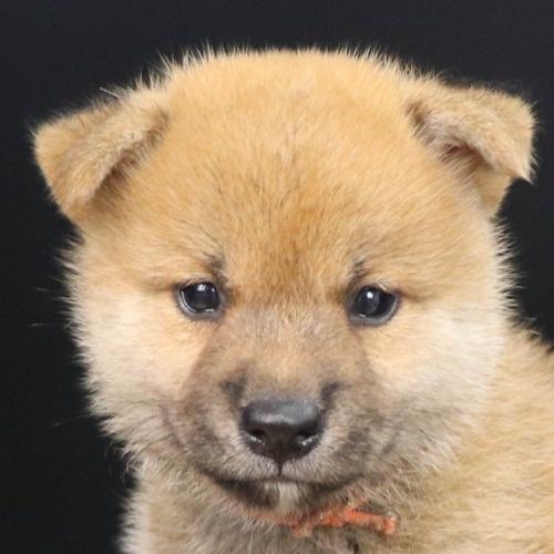 柴犬の子犬(ID:1262512208)の1枚目の写真/更新日:2021-09-06