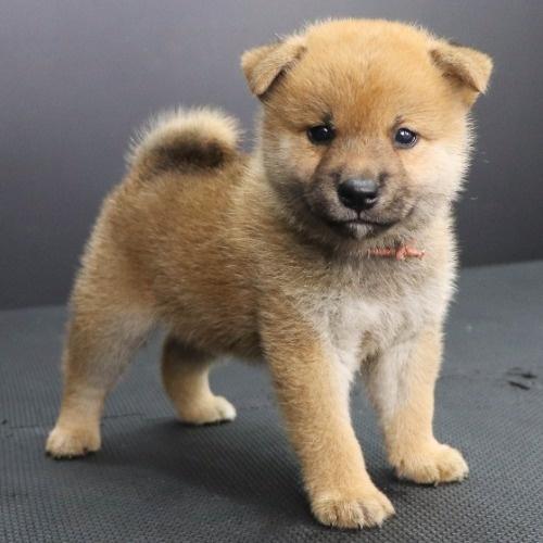 柴犬の子犬(ID:1262512208)の2枚目の写真/更新日:2021-09-06