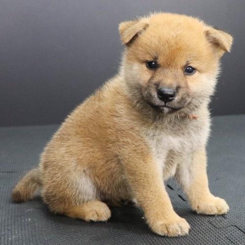 柴犬の子犬(ID:1262512208)の3枚目の写真/更新日:2021-09-06