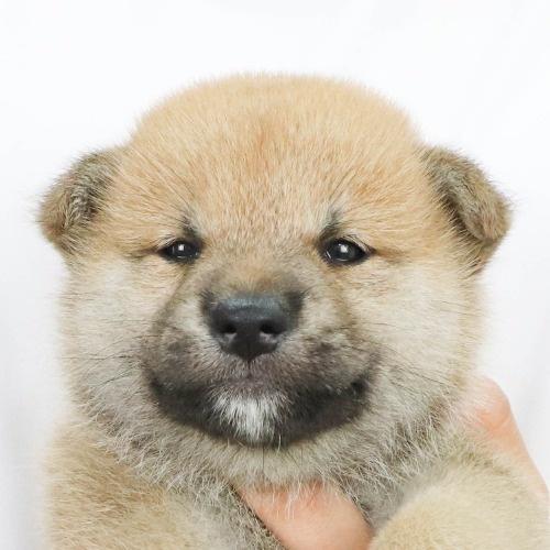 柴犬の子犬(ID:1262512209)の1枚目の写真/更新日:2021-08-29