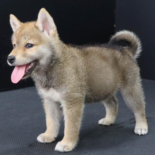 柴犬の子犬(ID:1262512211)の3枚目の写真/更新日:2021-08-29