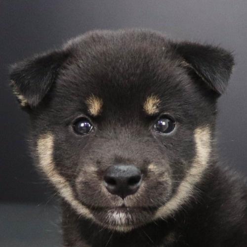 柴犬の子犬(ID:1262512212)の1枚目の写真/更新日:2021-08-27
