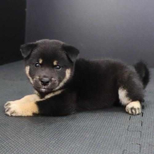 柴犬の子犬(ID:1262512212)の2枚目の写真/更新日:2021-08-27