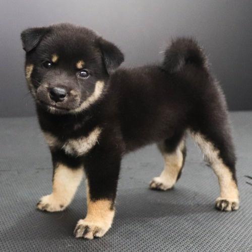 柴犬の子犬(ID:1262512212)の3枚目の写真/更新日:2021-08-27