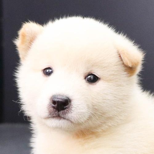 柴犬の子犬(ID:1262512213)の1枚目の写真/更新日:2021-09-02