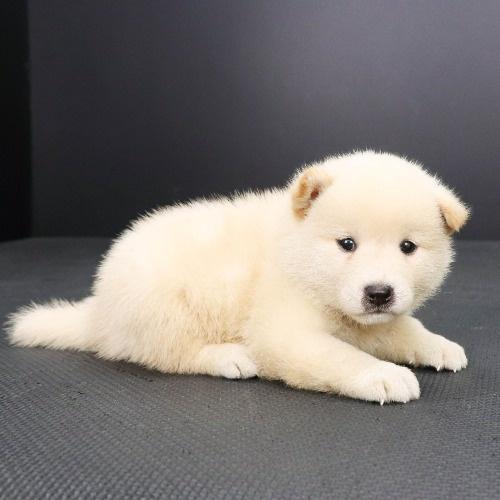 柴犬の子犬(ID:1262512213)の2枚目の写真/更新日:2021-09-02