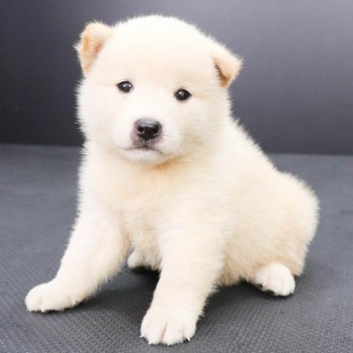 柴犬の子犬(ID:1262512213)の3枚目の写真/更新日:2021-09-02