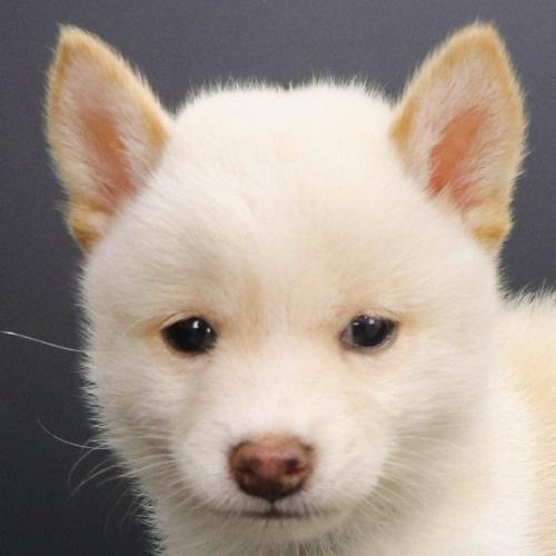 柴犬の子犬(ID:1262512214)の1枚目の写真/更新日:2021-09-19