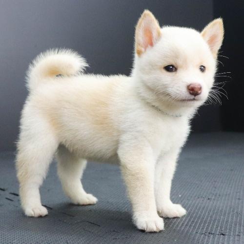 柴犬の子犬(ID:1262512214)の2枚目の写真/更新日:2021-09-19