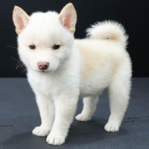 柴犬の子犬(ID:1262512214)の3枚目の写真/更新日:2021-09-19