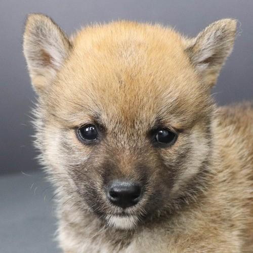 柴犬の子犬(ID:1262512215)の1枚目の写真/更新日:2021-09-23