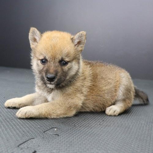 柴犬の子犬(ID:1262512215)の2枚目の写真/更新日:2021-09-23