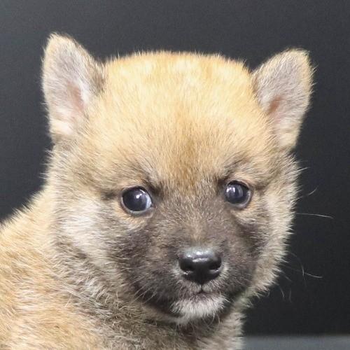 柴犬の子犬(ID:1262512217)の1枚目の写真/更新日:2021-09-23