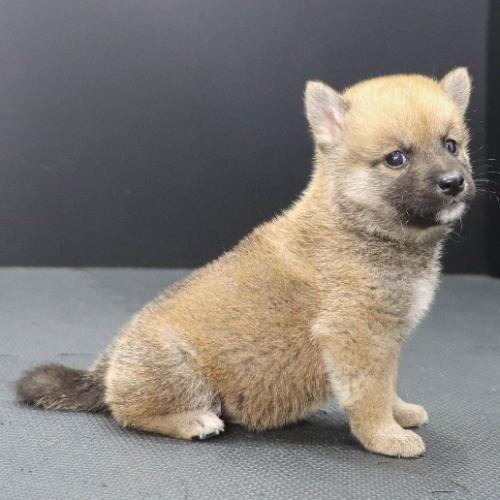 柴犬の子犬(ID:1262512217)の2枚目の写真/更新日:2021-09-23