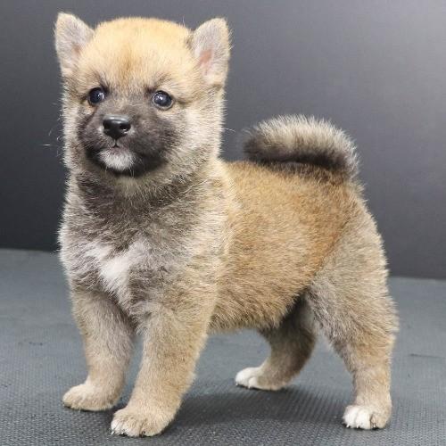 柴犬の子犬(ID:1262512217)の3枚目の写真/更新日:2021-09-23
