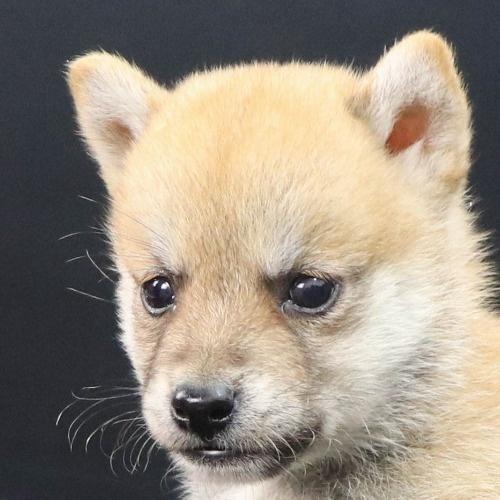 柴犬の子犬(ID:1262512218)の1枚目の写真/更新日:2021-09-23