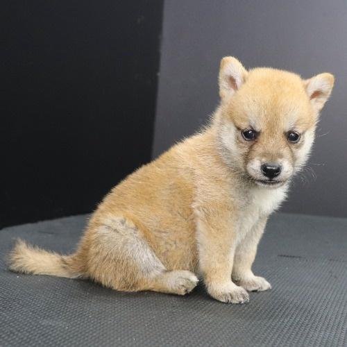 柴犬の子犬(ID:1262512218)の2枚目の写真/更新日:2021-09-23