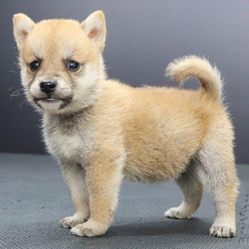 柴犬の子犬(ID:1262512218)の3枚目の写真/更新日:2021-09-23