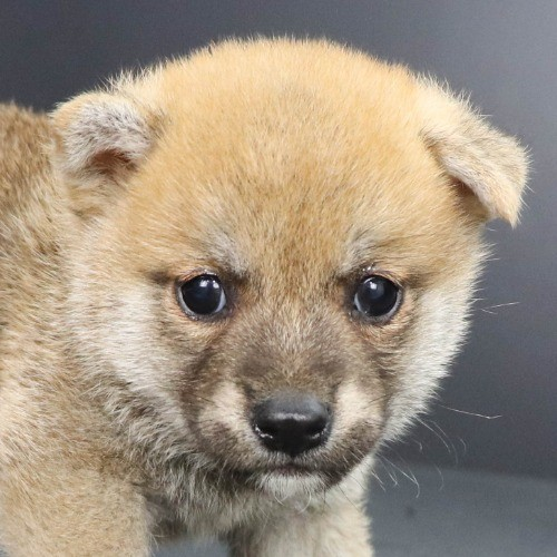柴犬の子犬(ID:1262512219)の1枚目の写真/更新日:2021-09-23