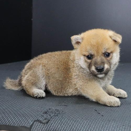 柴犬の子犬(ID:1262512219)の2枚目の写真/更新日:2021-09-23