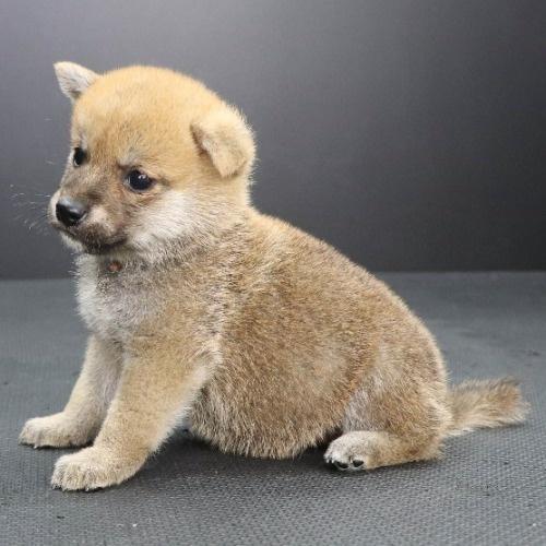 柴犬の子犬(ID:1262512219)の3枚目の写真/更新日:2021-09-23