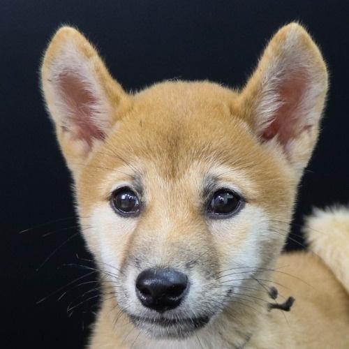 柴犬の子犬(ID:1262512220)の1枚目の写真/更新日:2021-09-13