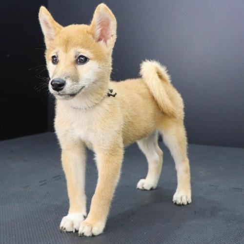 柴犬の子犬(ID:1262512220)の2枚目の写真/更新日:2021-09-13