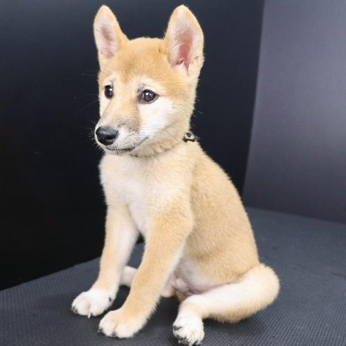 柴犬の子犬(ID:1262512220)の3枚目の写真/更新日:2021-09-13