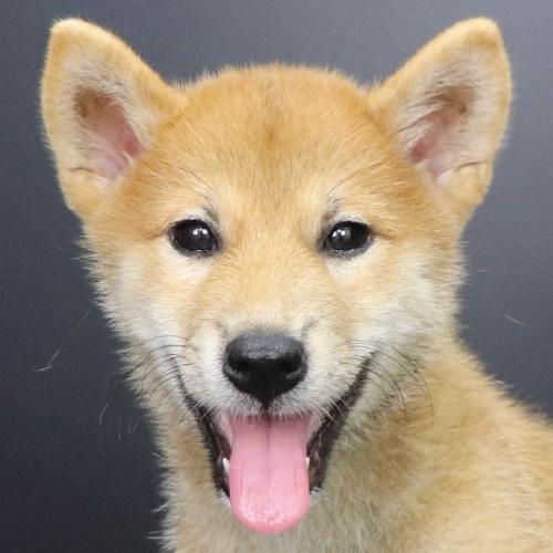 柴犬の子犬(ID:1262512221)の1枚目の写真/更新日:2021-09-06