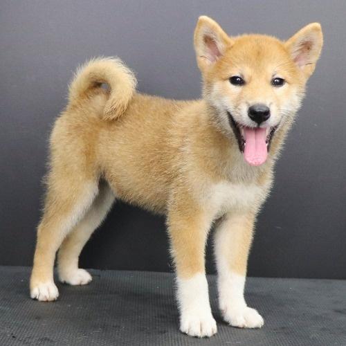 柴犬の子犬(ID:1262512221)の2枚目の写真/更新日:2021-09-06