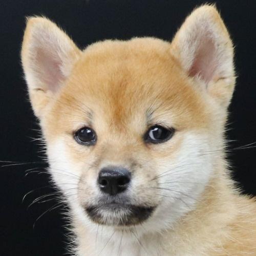 柴犬の子犬(ID:1262512222)の1枚目の写真/更新日:2021-09-19