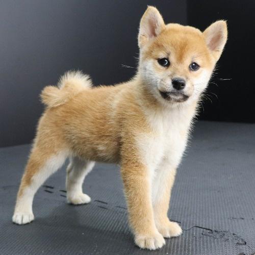 柴犬の子犬(ID:1262512222)の2枚目の写真/更新日:2021-09-19