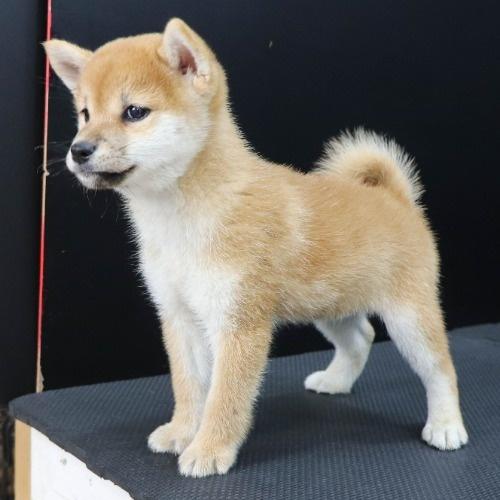 柴犬の子犬(ID:1262512222)の3枚目の写真/更新日:2021-09-19