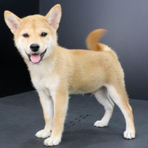 柴犬の子犬(ID:1262512223)の3枚目の写真/更新日:2021-09-11