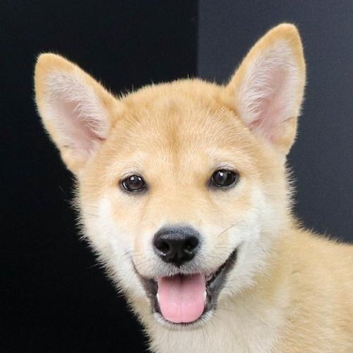 柴犬の子犬(ID:1262512224)の1枚目の写真/更新日:2021-09-15
